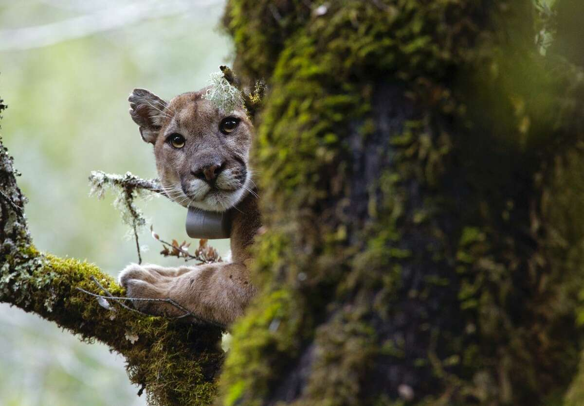 This male mountain lion fled into a tree during an attempt to re-collar him in Uvas Canyon County Park, which is in the area studied by the Santa Cruz Puma Project.