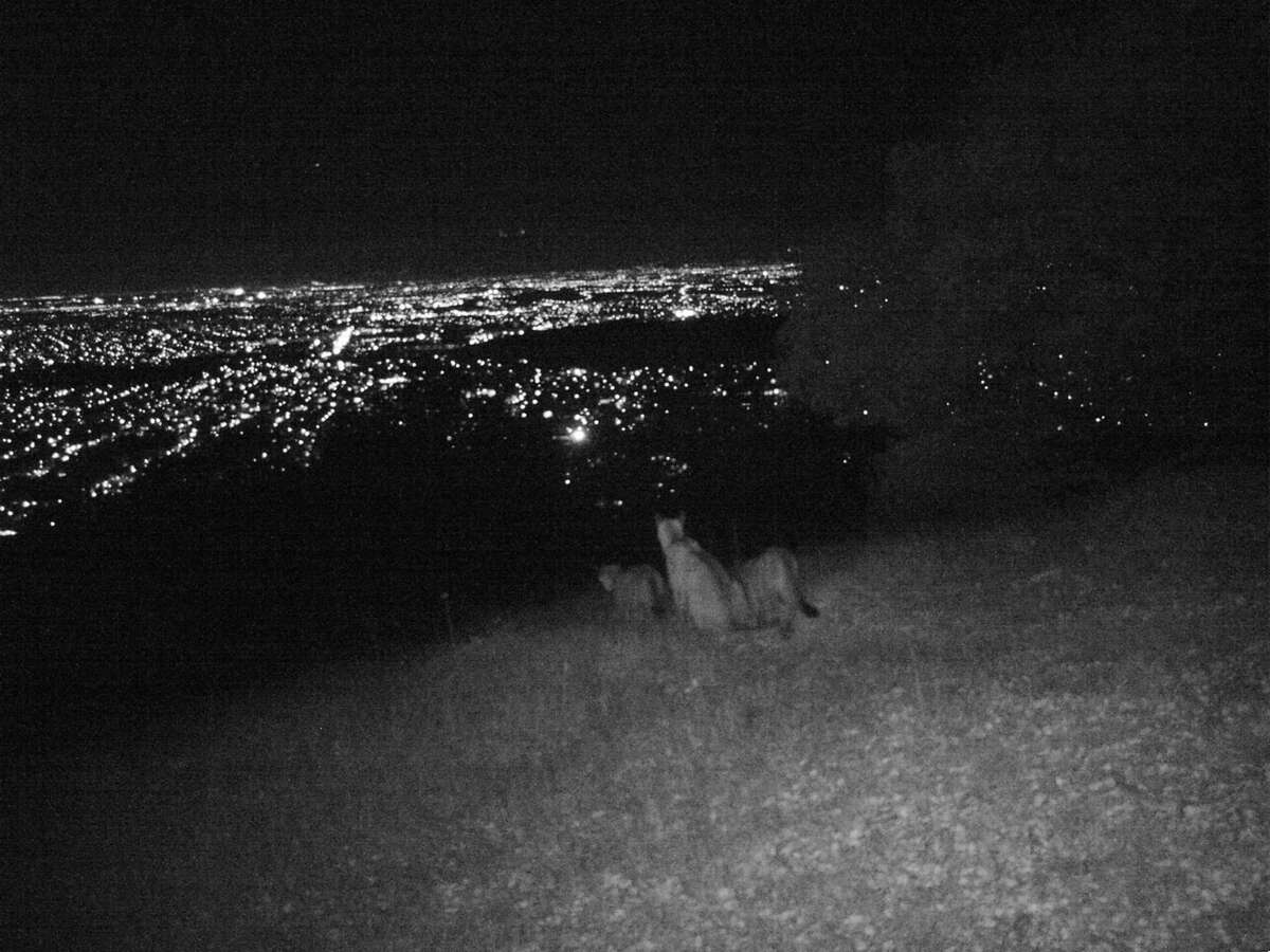 A mountain lion family looks out over San Jose one recent night.