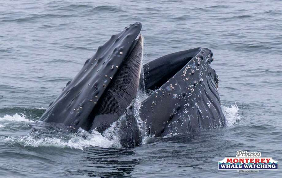 Humpback whales were seen lunge feeding on krill from the deck of a Princess Monterey Whale Watching boat on Tuesday, June 20, 2017. Photo: Randy Straka/Princess Monterey Whale Watch