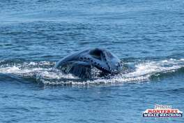 Humpback whales were seen lunge feeding on krill from the deck of a Princess Monterey Whale Watching boat on Tuesday, June 19, 2017.