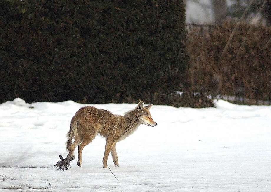 A coyote with a trap attached to its left hind left, scampers across a road in Riverside, Conn. Photo: GT