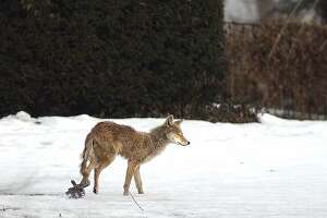 3-4-2003,  MEADOW ROAD, RIVERSIDE, CT. ,  A coyote with a trap attached to its left hind left, scampers across a Riverside property off Meadow Road around sunset Tuesday evening..............PHOTO/Bob Luckey..............MAGAZINES  OUT(DOMESTIC & INTERNATIONAL), INTERNET OUT, TV OUT,  ALL MEDIA OUT EXCEPT NEWSPAPERS.............