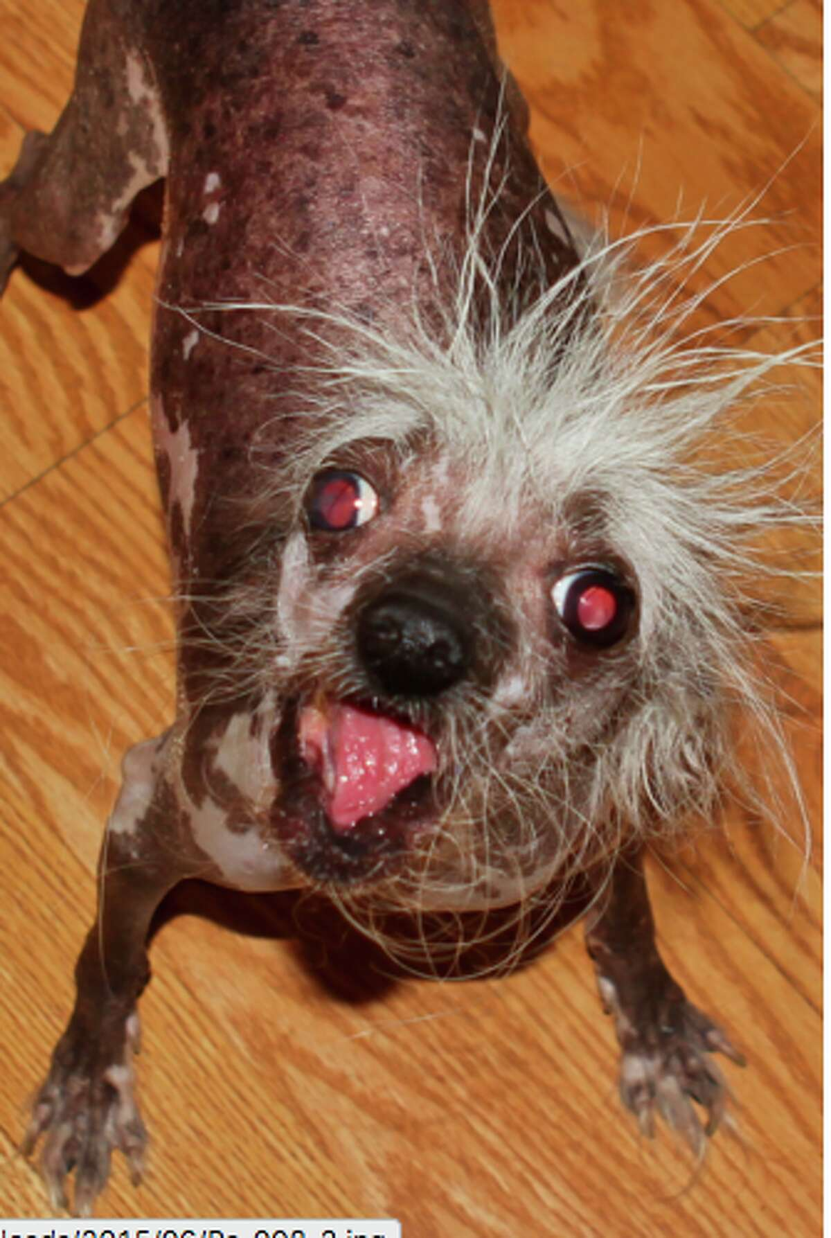 Meet The Adorably Ugly Pups Of The World S Ugliest Dog Competition