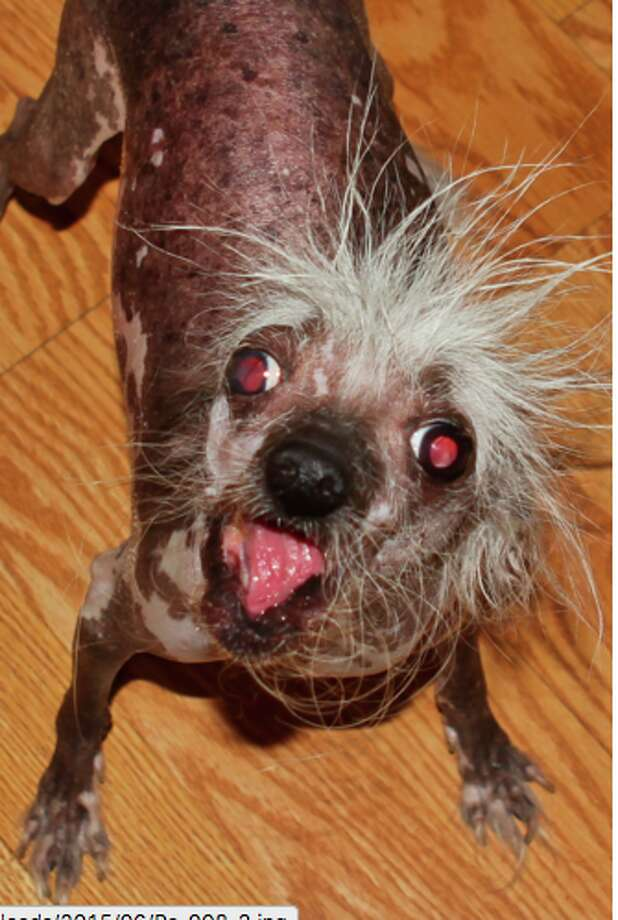 """Rascal DeuxOfficial bio: """"I'm Rascal Deux, a rescued naturally hairless, 6.5.lb. crazy critter, with Einstein hair, crooked face, 2 different colored eyes, and born without many teeth, being called Bat Dog, Space Alien or a Chupacabra. After winning 4 other Ugliest Dog trophies, I am 'Ugly Dog Royalty' being the 5th generation to carry on the 'Ugly Dog Dynasty' after Dad, Rascal who won Worlds Ugliest Dog in 2002 and 17 other World record first places. Rescued Great Grandfather, Chi Chi is in the 'Guinness Book of World Records' for winning 7 World Titles, and my adopted Great Grandmother, Lady Pink and Grandmother, Mai Tai winning 3 world titles each. My Master, actor Dane Andrew of Sunnyvale, Ca. is breaking his own World Record with his 41st year in world competition. We were on 'America's Got Talent', and have a new music video 'You Bring Me Luck' by singer, Athena, cast in the star-studded upcoming film 'The Adventures of Skanky Doo,' have a cartoon strip and documentary both named 'The Ugliest Dog.' I use my ugly for good with fundraisers, school appearances and soon my patented trademark hot dog leash to raise monies for animal charities. We played Oz & Toto for at risk Youth donations, and just made appearances for American Cancer Society and Parkinson's Gala benefits. We spread the world to spay/neuter, adopt and support your local shelter. Please vote for me since I will donate ALL winnings to charity. WOOF!!!"""" Photo: Courtesy: KE Spencer & Co. Event Marketing"""