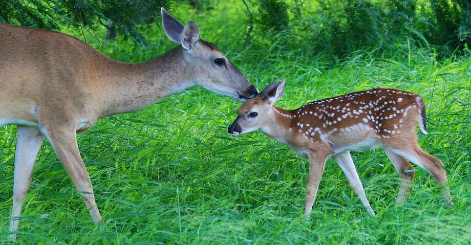 Image result for a young fawn and doe