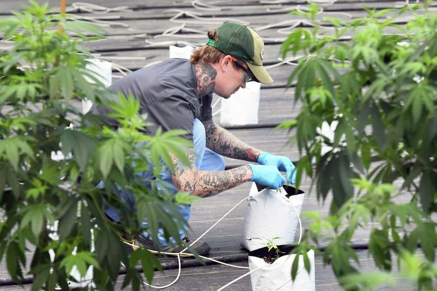 Horticulture technician Matthew Dobbs bar codes new plants in Vireo Health's new greenhouse at their medical marijuana cultivation and manufacturing facility Tryon Technology Park Wednesday June 21, 2017 in Johnstown, NY. (John Carl D'Annibale / Times Union)
