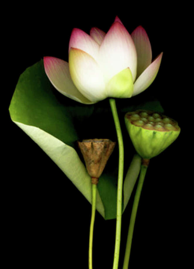 Bloomfield Hills artist Laurie Tennent's stunning photographs of botanicals  includes this Lotus. Her work is on display in The Jo Anne and Donald Petersen Sculpture Garden at the Marshall M. Fredericks Sculpture Museum.