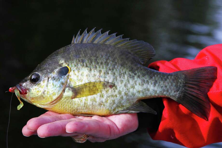 """Lakes Raven, Fayette County, Purtis Creek, Tyler and Lady Bird can provide outstanding fishing for redear sunfish as the fish, sometimes called """"shellcrackers"""" because of their affinity for aquatic snails, concentrate for their annual spawn. Photo: Shannon Tompkins /Houston Chronicle"""