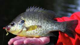"Lakes Raven, Fayette County, Purtis Creek, Tyler and Lady Bird can provide outstanding fishing for redear sunfish as the fish, sometimes called ""shellcrackers"" because of their affinity for aquatic snails, concentrate for their annual spawn."
