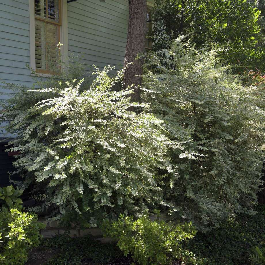 This variegated privet that keeps turning green from a mutation from the old green variety. The same thing happens with Gold Spot euonymus. You must prune out the all-green twigs as they show up, or you will soon end up with plants that are entirely green. Photo: Courtesy Photo