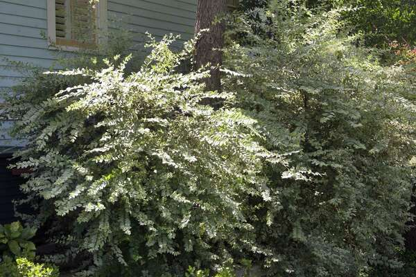 This variegated privet that keeps turning green from a mutation from the old green variety. The same thing happens with Gold Spot euonymus. You must prune out the all-green twigs as they show up, or you will soon end up with plants that are entirely green.