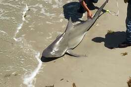 A 6-foot bull shark was captured and released at Bob Hall Pier on June 15, 2017 near Corpus Christi.