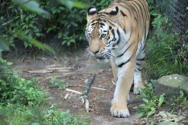 An Amur Tiger at Bridgeport's Beardsley Zoo.