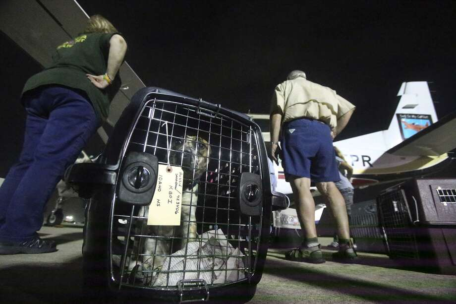 A dog inside of a transport container looks out before being loaded onto a Cessna Grand Caravan airplane bound for Idaho. As a part of their no-kill efforts, San Antonio Pets Alive is transporting more than 50 dogs to Idaho to be adopted there, relieving pressure on San Antonio animal shelters. Pilot Peter Rork said the 8-hour flight to Boise, Idaho will stop in Fort Collins, Colorado to refuel, and will continue to the dogs' final destination in Idaho. Photo: John Davenport, STAFF / San Antonio Express-News / ©John Davenport/San Antonio Express-News