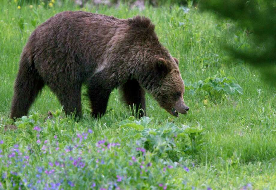 Federal officials have reported a dramatic increase in the number of grizzly bears in recent decades and estimate more than 700 now live in and around Yellowstone National Park. Photo: Jim Urquhart, FRE / FR170447 AP