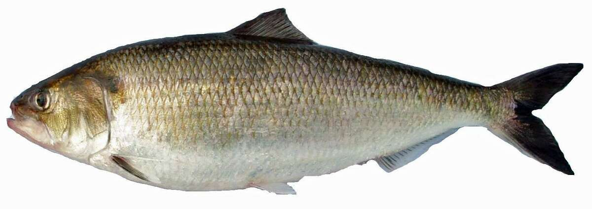 The Connecticut Department of Energy and Environmenatl Protection says a large number of dead shad are showing up in the Connecticut River. The die-off is part of