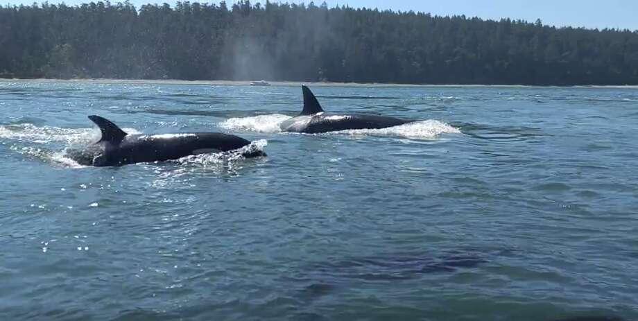 Orcas surface near Deception Pass bridge on June 21, 2017. Photo: Facebook