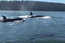 Orcas surface near Deception Pass bridge on June 21, 2017.