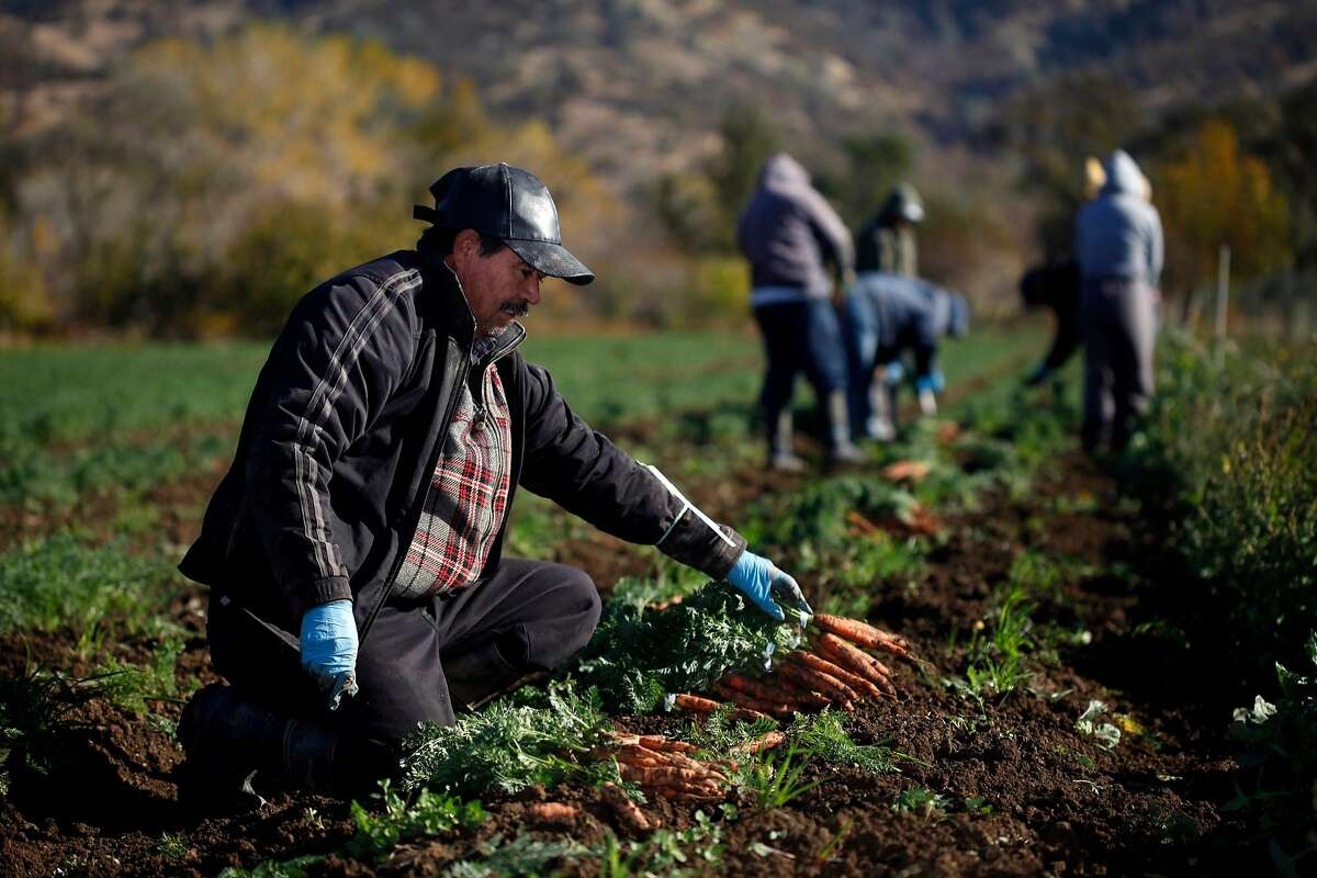 Silvono Torres harvest carrots at Full Belly Farm, Thursday November 19, 2013, in Guinda, Calif. Full Belly Farm has approximately 400 acres and serve thousands through farmers markets and online. Small farm advocates worry that new food safety rules proposed by the FDA will hurt the small farmers and unravel farm conservation programs.