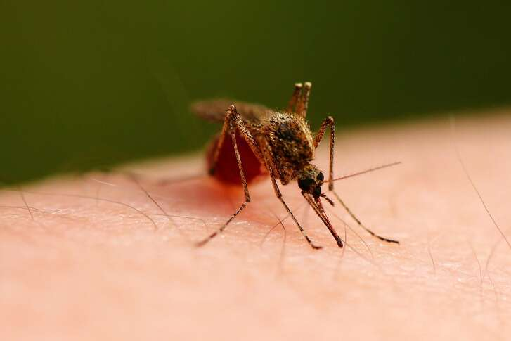 Two mosquito species known to carry chikungunya, dengue and Zika viruses have been reported in more counties and states across the Southern United States. (Dreamstime/TNS)