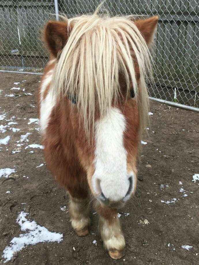 A mini horse is now part of the animal family at Connecticut's Beardsley Zoo in Bridgeport. Photo: Connecticut's Beardsley Zoo / Contributed Photo