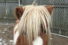 A mini horse is now part of the animal family at Connecticut's Beardsley Zoo in Bridgeport.
