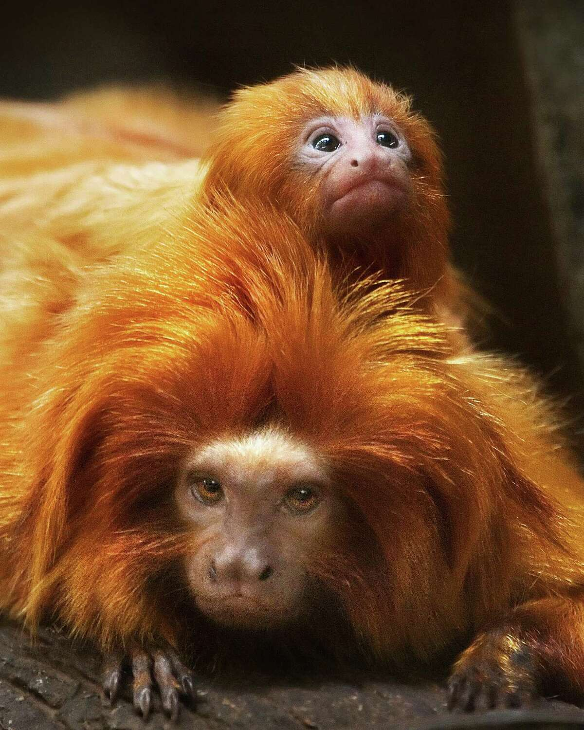 Connecticut's Beardsley Zoo has golden lion tamarins, a New World monkey native to the Atlantic coastal forests of Brazil. It is now an endangered species.