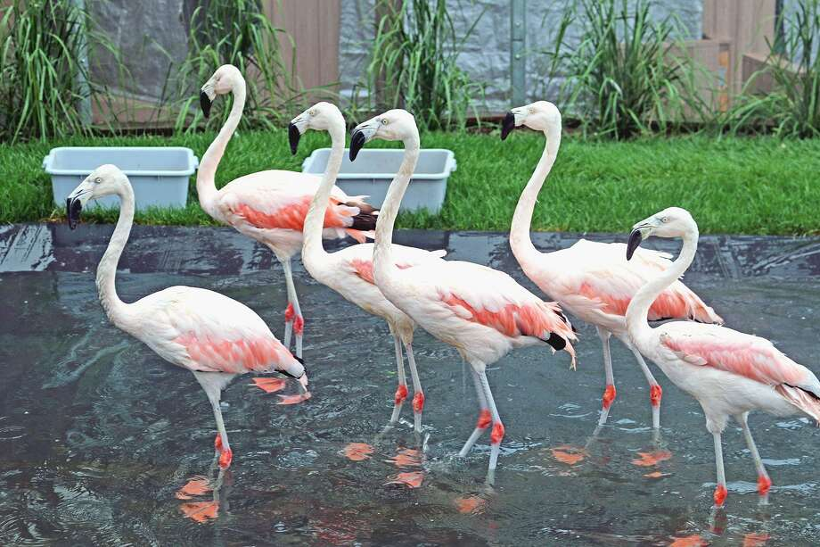 A flamboyance of flamingos is on view at the Maritime Aquarium at Norwalk through Labor Day. Photo: Maritime Aquarium At Norwalk / Contributed Photo