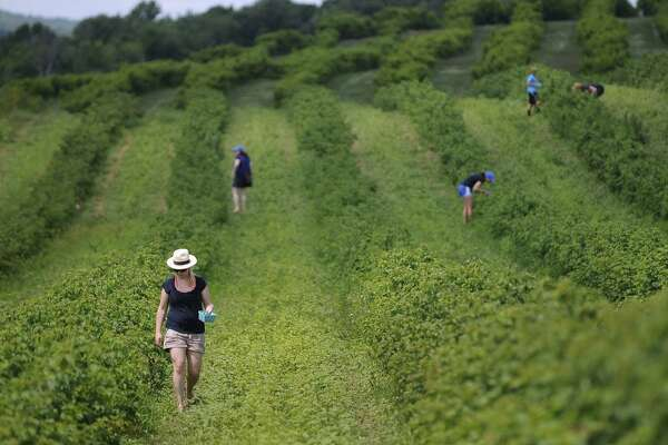 Customers look for raspberries in one of Lyman Orchards' pick-your-own fields in Middlefield. Strawberries and raspberries are in season.