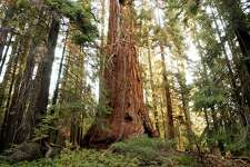 KERNVILLE, CA - JULY 25:  A giant sequoia tree dwarfs the surrounding forest along the Trail of the 100 Giants which is threatened by the out-of-control McNally Fire  July 25, 2002 in the Sequoia National Monument north of Kernville, California. The McNally wildfire has grown to more than 50,000 acres and is threatening to spread to the rare giant sequoia trees. Sequoia trees are known as the largest living things on earth, many of which are more than 1,000 years old, and occur only in this southern Sierra Nevada region. Although sequoia trees use fire to reproduce, a fire that is too hot could weaken the enormous trees' ability to stand.  (Photo by David McNew/Getty Images)