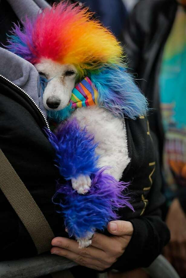 A dog named Ferris Bueller keeps warm during S.F.'s Pride Parade. Photo: Gabrielle Lurie, The Chronicle