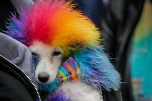 A dog named Ferris Bueller is bundled during the Pride Parade in San Francisco, California, on Sunday, June 25, 2017.