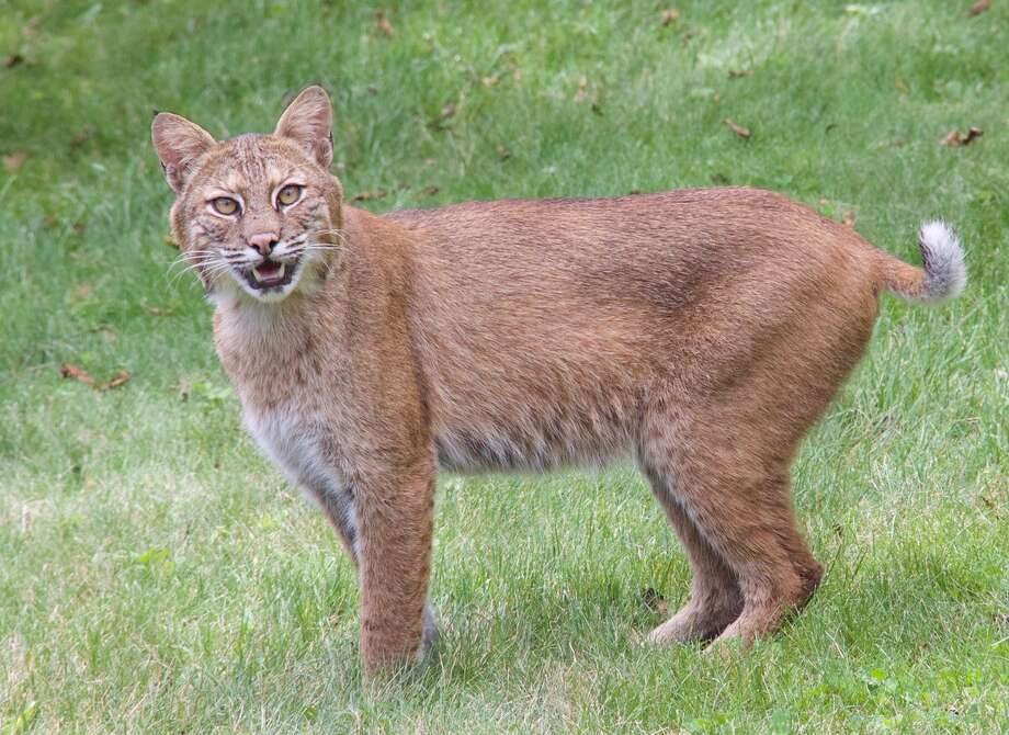 Click through the slideshow to view photos of wild animals spotted in our area. Bill Brooks took this photo of a bobcat in his New Scotland backyard in the third week of June 2017. (Bill Brooks)   Photo: Bill Brooks