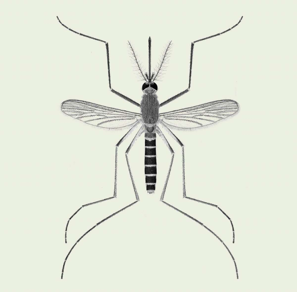 In an undated handout photo, an illustration of the culex pipiens, the northern house mosquito. The species is the primary carrier of the West Nile virus, and is found in urban areas across the United States. (S.Shibata and A. Shimazoe/Department of Entomology/Smithsonian Institution via The New York Times) -- NO SALES; FOR EDITORIAL USE ONLY WITH MOSQUITO TYPES BY EMILY S. RUEB FOR JUNE 29, 2016. ALL OTHER USE PROHIBITED. --