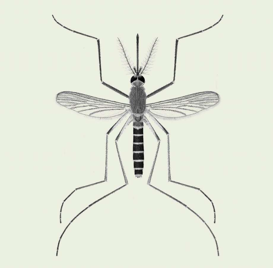 In an undated handout photo, an illustration of the culex pipiens, the northern house mosquito. The species is the primary carrier of the West Nile virus, and is found in urban areas across the United States. (S.Shibata and A. Shimazoe/Department of Entomology/Smithsonian Institution via The New York Times) -- NO SALES; FOR EDITORIAL USE ONLY WITH MOSQUITO TYPES BY EMILY S. RUEB FOR JUNE 29, 2016. ALL OTHER USE PROHIBITED. -- Photo: S.SHIBATA AND A SHIMAZOE / NYTN / DEPARTMENT OF ENTOMOLOGY/SMITHSONIAN INSTITUTION