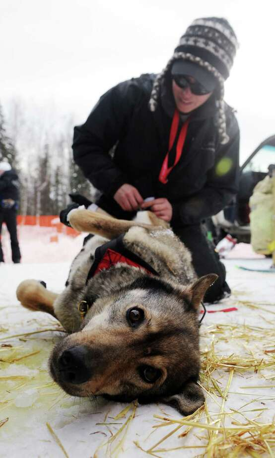 Katherine Keith puts booties on one of John BakerA'A's sled dogs before the Iditarod Trail Sled Dog Race, Sunday, March 3, 2013, in Willow, Alaska. 65 teams will be making their way through punishing wilderness toward the finish line in Nome on Alaska's western coast 1,000 miles away. (AP Photo/The Anchorage Daily News, Bob Hallinen)  LOCAL TV OUT (KTUU-TV, KTVA-TV) LOCAL PRINT OUT (THE ANCHORAGE PRESS, THE ALASKA DISPATCH) Photo: Bob Hallinen / The Anchorage Daily News