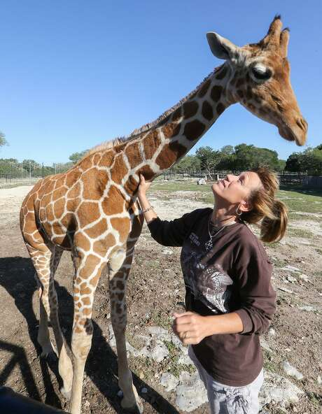Tiffany Soechting, Natural Bridge Wildlife Ranch marketing director and animal specialist, smiles up at Nakato, a twin Reticulating Giraffe, at the 450-acre animal preserve in May 2014. Last year, Soechting, Fred Bercovitch and Ashley Scott Davison created a nonprofit to protect the endangered species in their natural habitat. Photo: Marvin Pfeiffer / San Antonio Express-News / EN Communities 2014