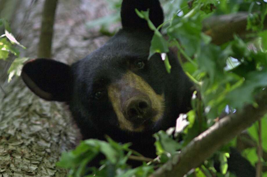 A black bear spotted in May 2016 on Oenoke Lane. Photo: Contributed / New Canaan News