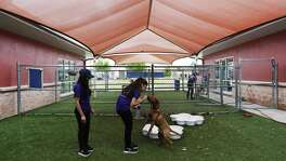 Foreign exchange students Emel Hyusein (center) of Bulgaria and Kashishi Kukreja of Pakistan spend time with a dog at Animal Care Services after volunteering at the San Antonio Food Bank on Saturday, Apr. 1, 2017. For two decades, Connie and John Coutu have welcomed nearly 50 foreign students into their homes through Ayusa, an international exchange student program. The couple is currently hosting Hyusein and Kukreja, who have grown as close as sisters over the past few months as they attended school and explored San Antonio and Texas together. However, recent actions by the Trump administration could have an impact on the program that fosters international relations and previously helped relocate a cohort of Yemeni students who could not return home because of the civil war. First there was the travel ban, which the girls say has chilled applications to study abroad back in their home countries. Then there was the recent release of Trump's budget, which included major cuts to education, social service and international programs -- including Ayusa, which receives funding through the Bureau of Educational and Cultural Affairs, an arm of the State Department. We spend time with the family and talk with them about what the program has come to mean to them. (Kin Man Hui/San Antonio Express-News)