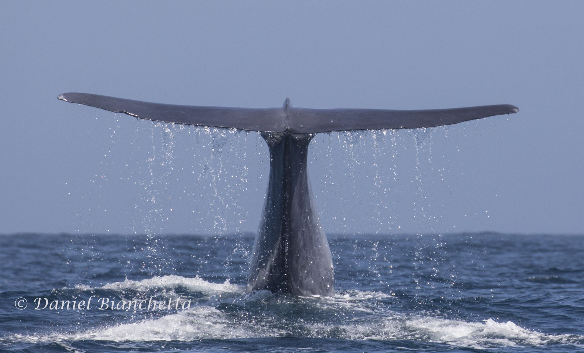 blue whales invade monterey bay sfgate