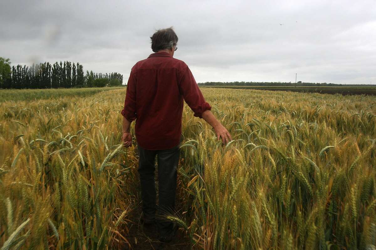 Nigel Walker, co-proprietor of Eatwell Farm, shows his wheat crop in Dixon, Calif., on Monday, May 17, 2010. He uses compost from Jepson Prairie Organics.