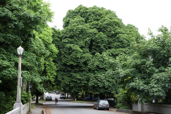 """Take a look at some of Seattle's 57-or-so """"heritage trees."""" Trees for which no photo existed have been omitted. Tree descriptions are drawn from city records."""