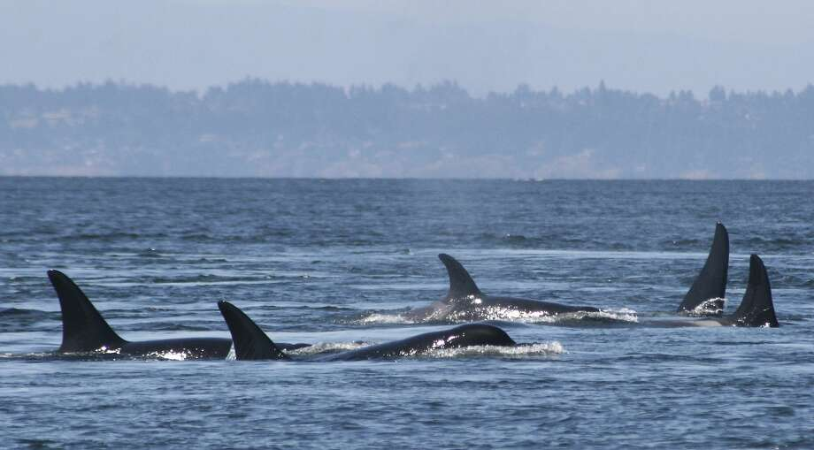Southern resident killer whales swim off the coast of San Juan Island, Wash. These orcas along the U.S. West Coast were listed as an endangered species in 2005. They now number just 78. Photo: Jane Cogan, Associated Press
