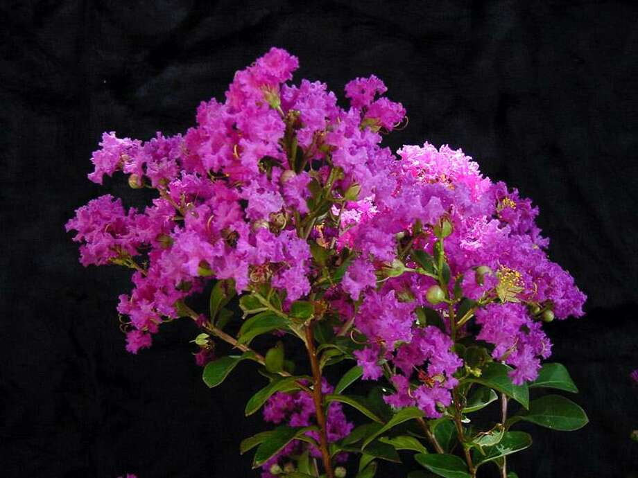 'Catawba' crape myrtle. Photo: Courtesy Jerry Parsons / DirectToArchive