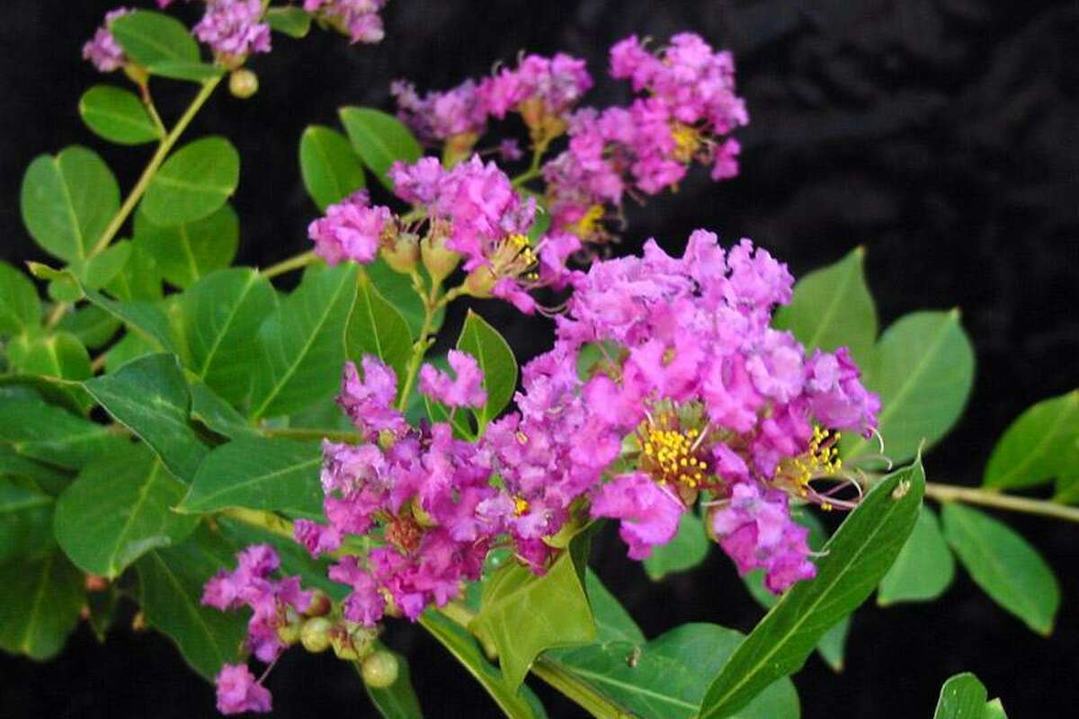 The a list of small trees perfect for texas gardens expressnews the a list of small trees perfect for texas gardens mightylinksfo
