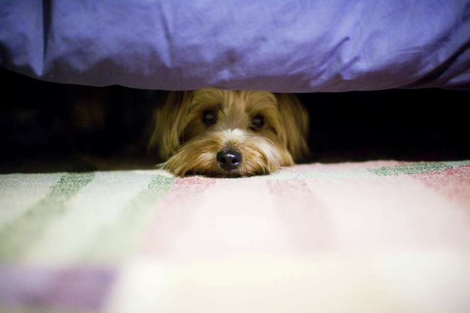 If your plans for the 4th of July include cowering under the bed, pacing around the room, or trembling in place, then you are likely a noise-phobic dog. Photo: Vanessa Van Ryzin, Mindful Motion Photography /Getty Images / © 2012 Vanessa Van Ryzin