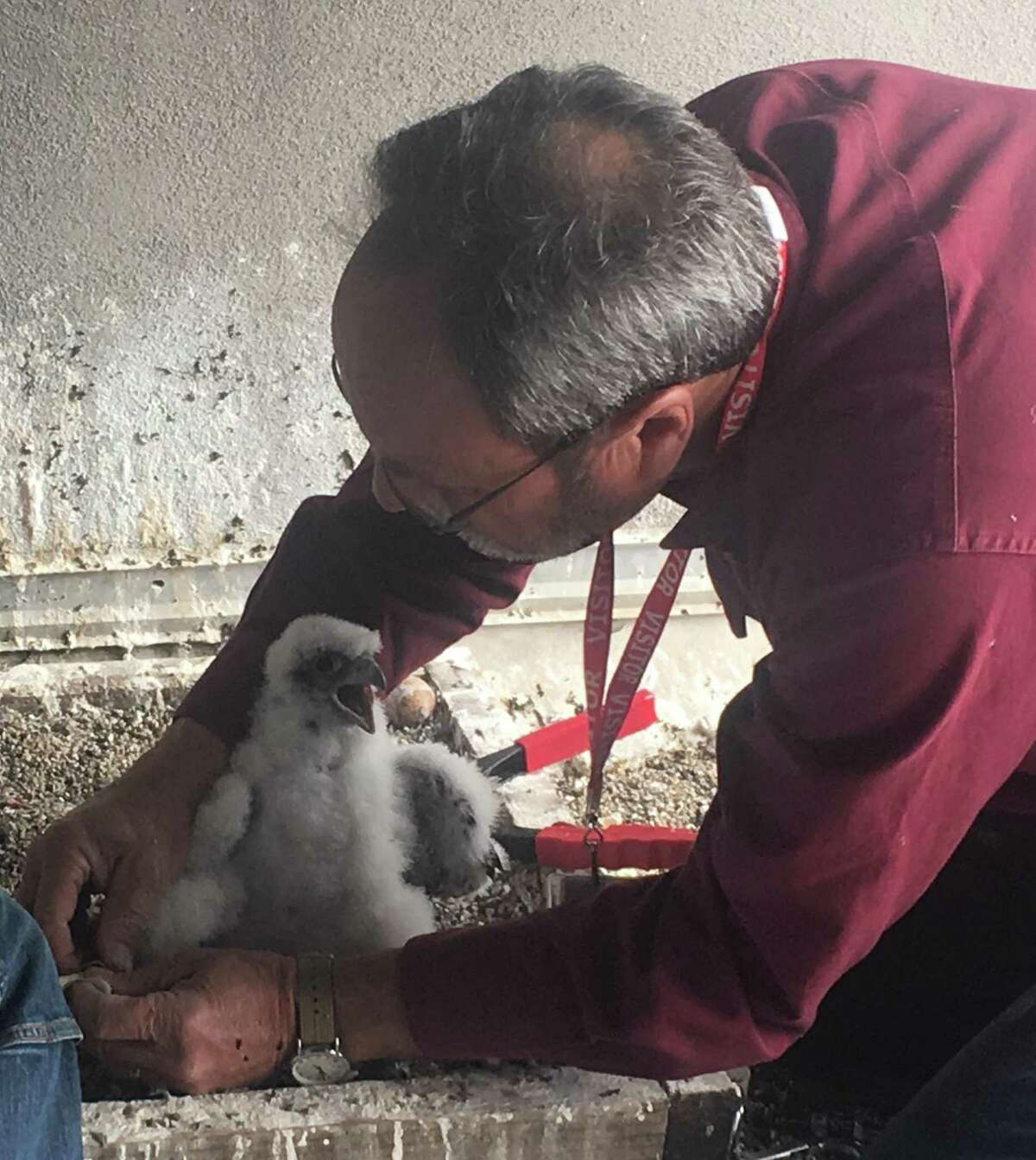 Glenn Stewart, director of UC Santa Cruz's Predatory Bird Research Group, places a band on the leg of one of three baby falcons atop the PG& building.
