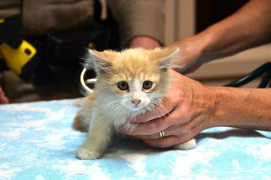Bridges the kitten is examined at Marin Humane by Dr. Belinda Evans. Photo: J. Lamont / Marin Humane