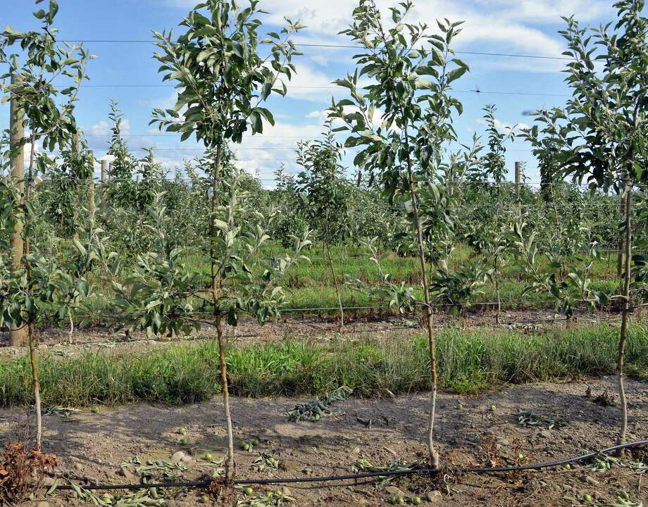 Young apple trees grown on Geneva root stock at Indian Ladder Farms Wednesday June 28, 2017 in Altamont, NY.  (John Carl D'Annibale / Times Union) Photo: John Carl D'Annibale / 20040910A