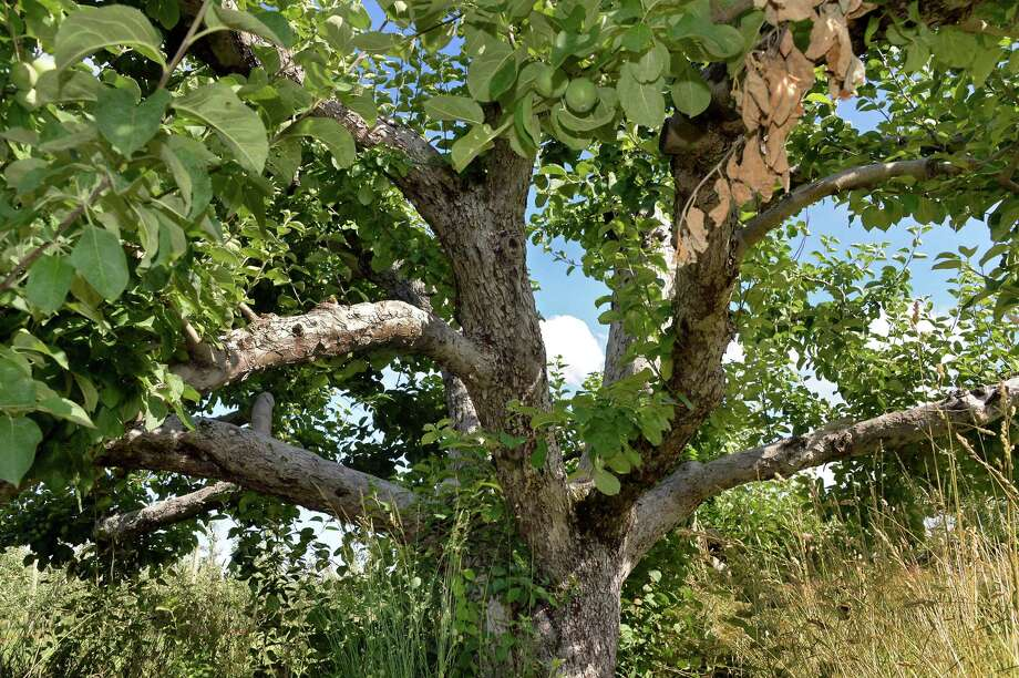 A natural apple tree palnted in the 1950's at Indian Ladder Farms Wednesday June 28, 2017 in Altamont, NY.  (John Carl D'Annibale / Times Union) Photo: John Carl D'Annibale / 20040910A